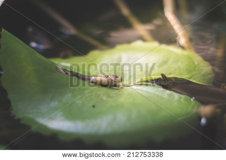 Close Up Female Fish Try To Spawn And Dead On Lotus Leaf