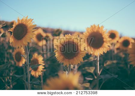 Sunflowers texture and background for designers. Sunflowers field background in vintage style. Macro view of sunflower in bloom. Organic and natural flower background. Vintage sunflower.
