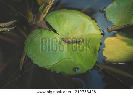 Female Fish Try To Spawn And Dead On Lotus Leaf,top View