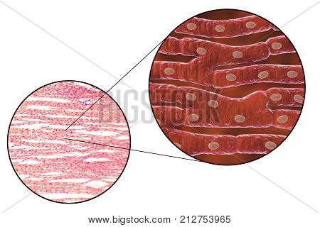 Histological structure of heart muscle, 3D illustration and photomicrograph
