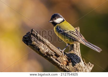 Nice Colorful Great-tit Songbird Perched On Dry Twig