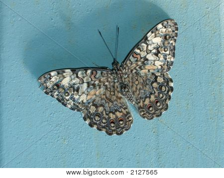 Speckled Butterfly