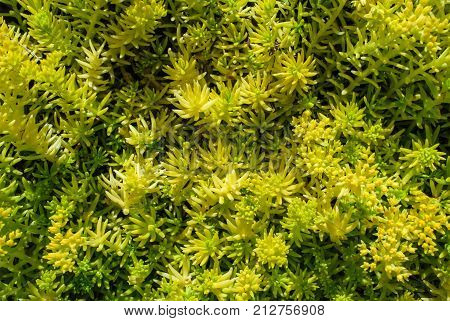 Angelina Sedum plant with bright summer coloring