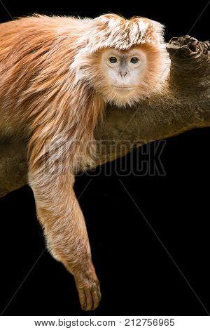 Juvenile Ebony Langur Lying Down on a Branch