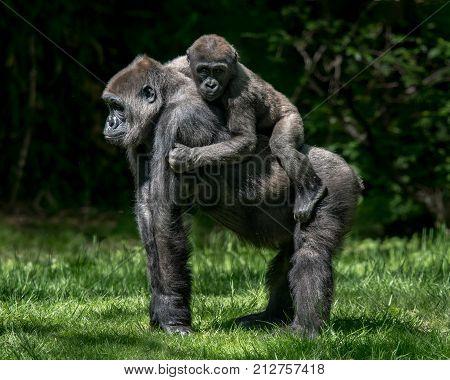 Baby Gorilla Riding Piggyback on Its Mother