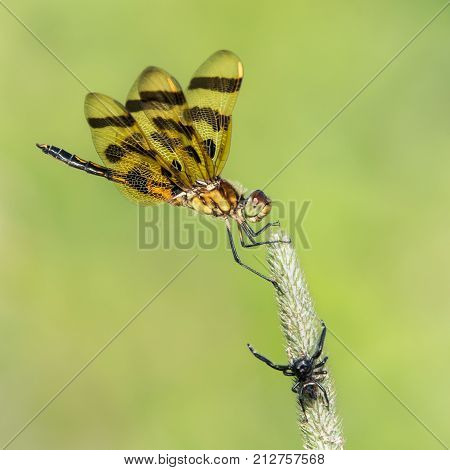 Halloween Pennant Dragonfly Being Stalked by Small Black Spider