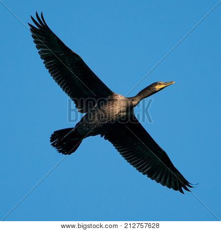 Cormorant in Flight Against a Clear Blue Sky