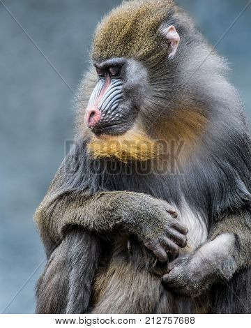Frontal Portrait of a Mandrill Family Against a Mottled Blue Background