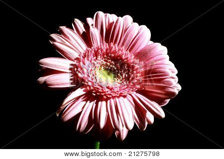 Foto Of Pink Flower On Black Background