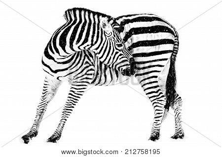 Profile Portrait of a Plains Zebra Against a White Background
