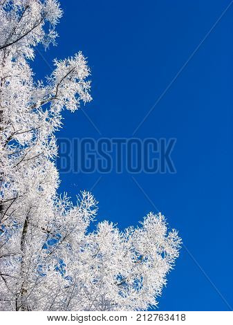 Beautiful blue and white background of winter with the branches of the tree is covered with hoarfrost