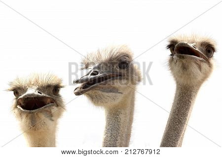 ostrich head isolated on white back,  flightless bird