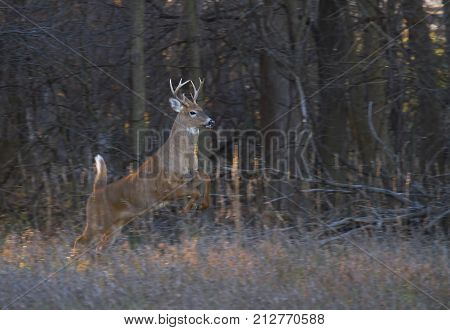 White-tailed deer buck jumping through the air after a doe in the forest during the rut