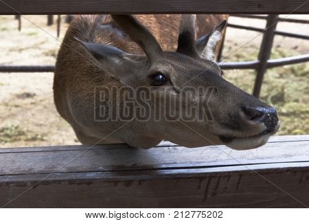 Red deer shoved his in fencing muzzle and begging for delicacy by visitors of a zoo