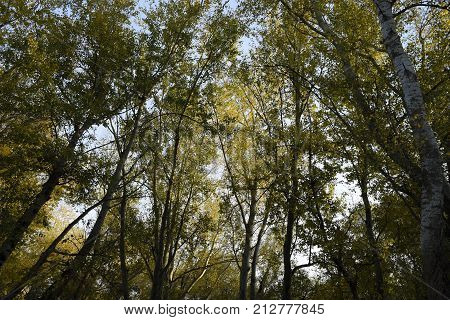 View From The Bottom Up In A Forest Of Silver Poplars. Background Of The Sky And Trees. Autumn In Th