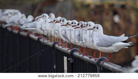 Black Headed Gull Line Up