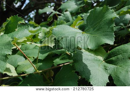 Grape leaves fresh on the vine. Used for various food dishes including dolmas.