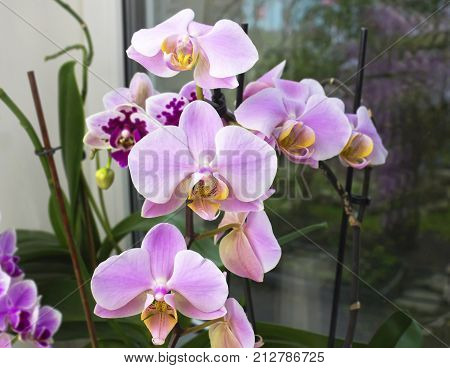 Beautiful home bouquet of Thailand Orchid in the interior. Selective soft focus. Vibrant tropical purple and white orchid flower floral background. Orchids on the window
