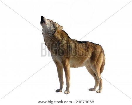 Isolated Singing Wolf