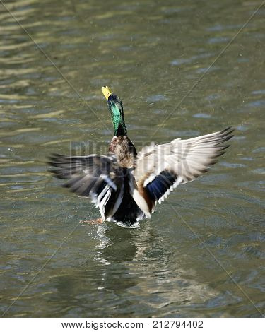 CLOSE UP OF MALLARD DUCK FLAPPING WINGS