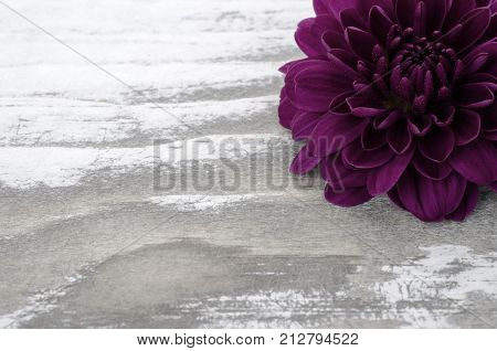A single purple mum flower sitting on a whitewashed wooden board. Copy space is provided to the left side of the photograph.