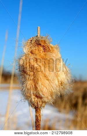 Cattail fluff and seeds disperse in a wet prairie in Boone County Illinois