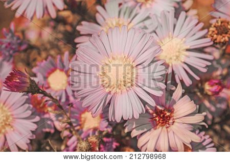 Bushes Blooming Asters. Vintage Tone Nature Background