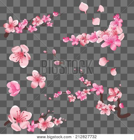 Spring sakura cherry blooming flowers, pink petals and branches isolated on transparent background. Vector illustration