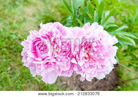 Beautiful pink Minuet peony flowers. Horizontal Outdoors summertime vibrant colored image.