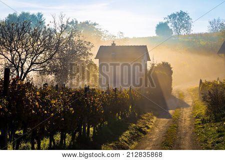 Sun Rays In Morning Fog Vineyard View