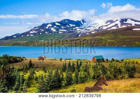 Two sleek groomed Icelandic horses grazing on the shore of the fjord