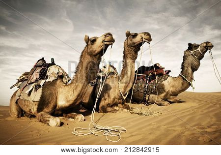 Camels resting in the desert. Thar Desert, Rajasthan, India.