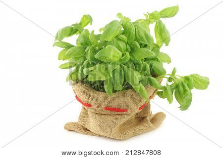 fresh basil in a burlap bag on a white background