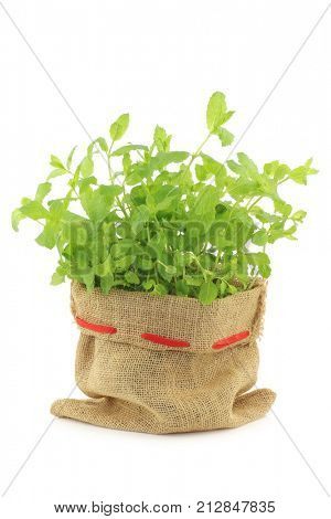 fresh mint in a burlap bag on a white background