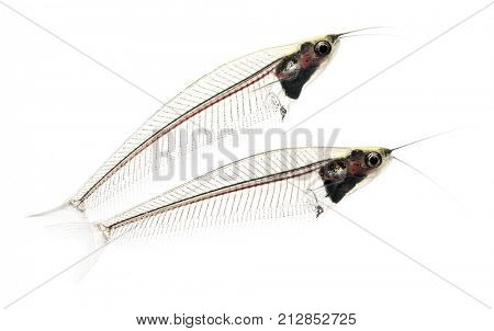 Side view of two Ghost catfish, Kryptopterus minor, isolated on white