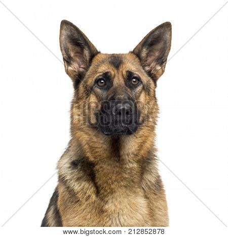 Close-up of a German Shepherd Dog (1 year old)