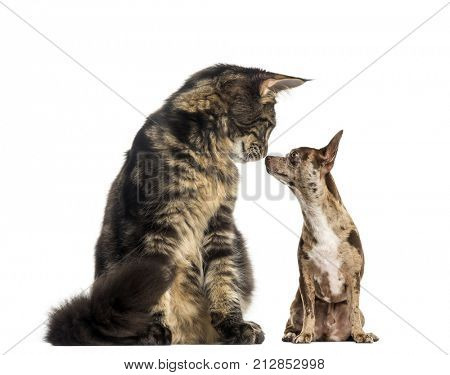 Maine Coon kitten sitting and sniffing a chihuhua
