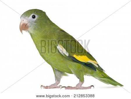 White-winged Parakeet, Brotogeris versicolurus, 5 years old, in front of white background