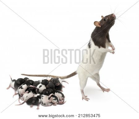 Fancy Rat next to its babies and looking away in front of white background