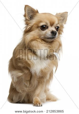Chihuahua, 7 years old, sitting in front of white background