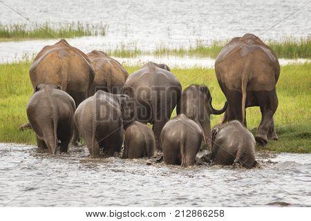 Elephant herd bathing at Minneriya National Park, Sri Lanka, walking together away from the camera.