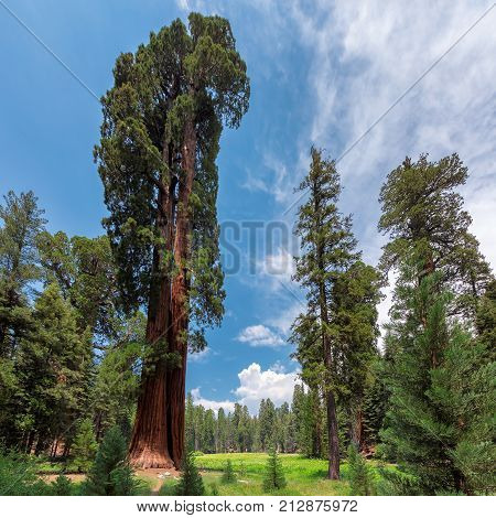 Huge Redwood Trees In Sequoia National Park, California, USA.