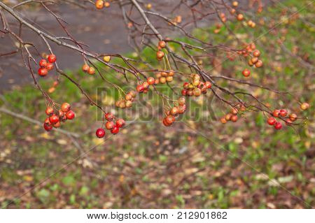 Ashberry in the city street in late autumn