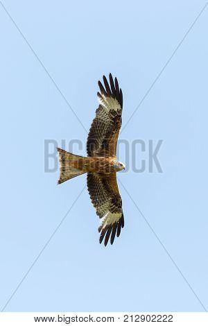 portrait natural red kite (milvus milvus) raptor bird in flight poster