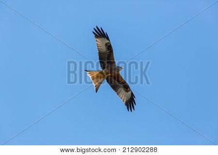 Red Kite (milvus Milvus) Raptor Bird In Flight, Blue Sky, Spread Wings