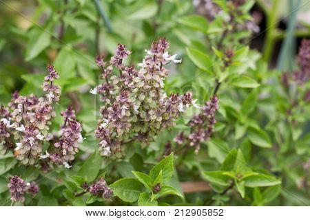 Daylight Of Basil Tree In Vegetable Garden Blur Background. Lemon Basil Hoary Basil Hairy Basil Tree