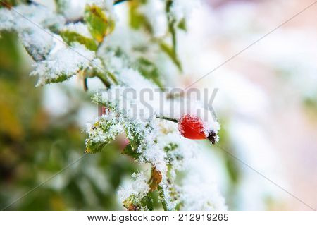Winter background. The beginning of winter the first snow. Green leaves red berries of wild rose dog-rose white snow. Snowing.