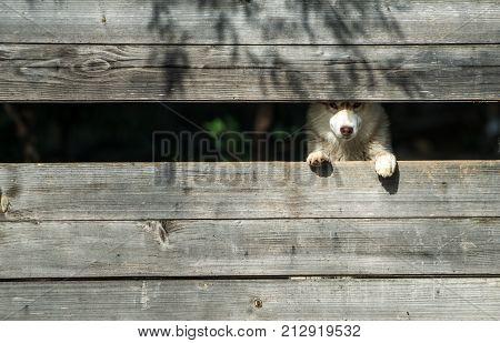 Year of dog holiday celebration. Husky or wolf at wooden background copy space. New year christmas xmas. Pet and animal Siberian husky dog year. Zoo shelter farm or captivity.