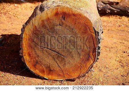 Chico Zapote Manilkara zapota trunk wood from Mexico rainforest chewing gum tree