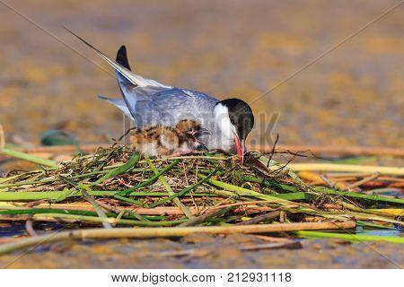 common tern (sterna hirundo) and baby bird